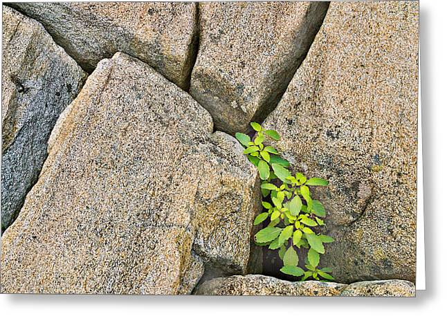 Plant In Granite Crevice Abstract Greeting Card