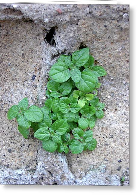 Plant In Stone Naples Italy Greeting Card