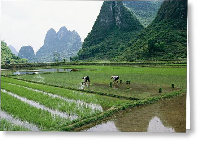 Farmers And Farming Greeting Cards - Planting Rice With Limestone Karst Greeting Card by Raymond Gehman
