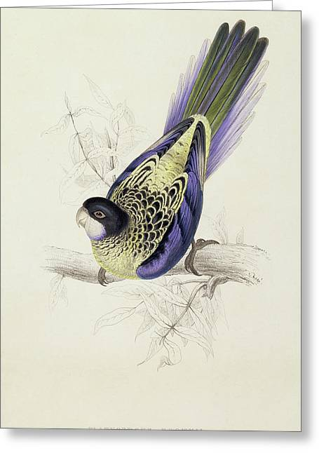 Platycercus Brownii, Or Browns Parakeet Greeting Card by Edward Lear