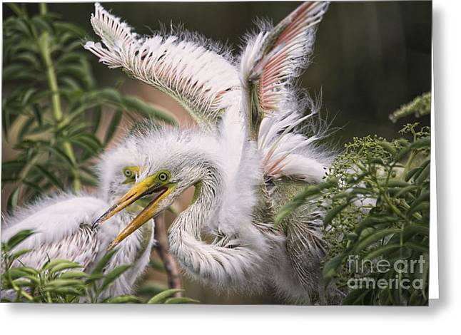 Playful Egret Chicks Greeting Card