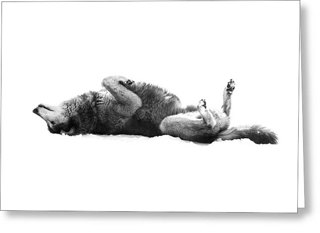 Playful Gray Wolf Photo Greeting Card
