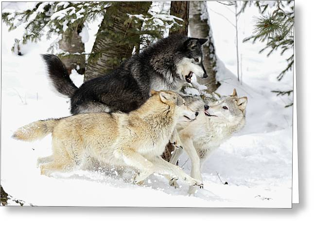 Playful Wolves Winter Style Greeting Card