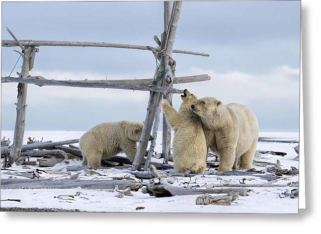 Playtime In The Arctic Greeting Card