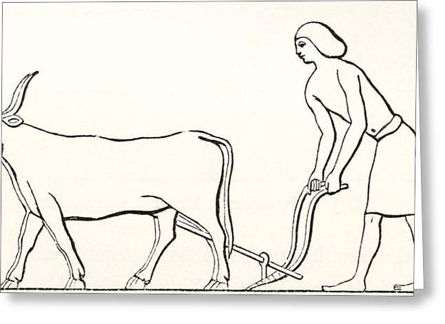 Ploughing With Oxen In Ancient Egypt Greeting Card