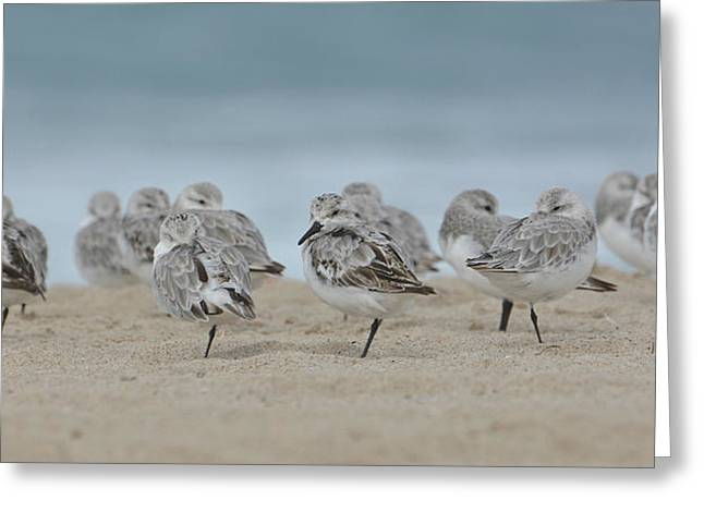 Plover Colony Greeting Card