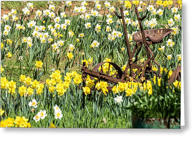 Plow In Field Of Daffodils Greeting Card