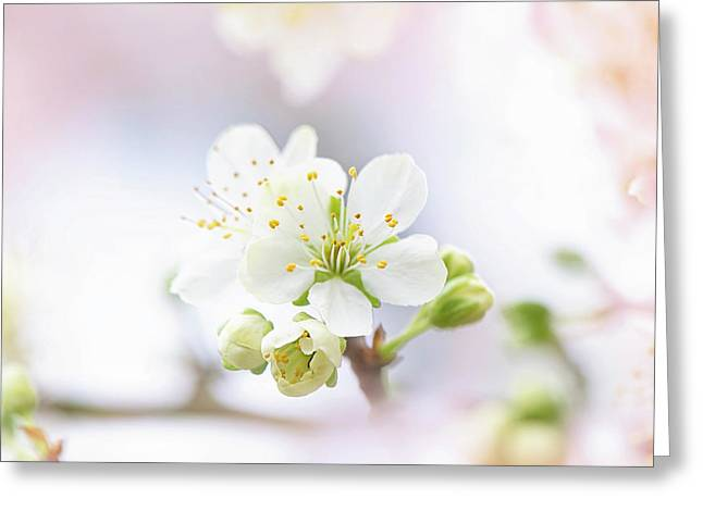 Plum Blossom Greeting Card by Jacky Parker