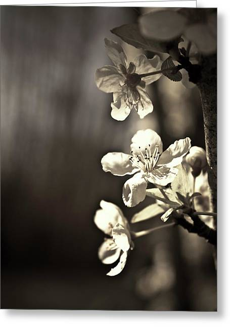 Plum Blossoms Greeting Cards - Plum Blossoms Greeting Card by Danielle Silveira