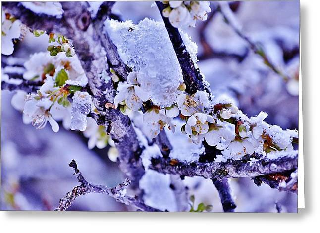 Plum Blossoms In Snow Greeting Card