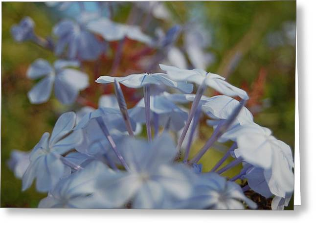 Plumbago Puffs Greeting Card by Jean Booth