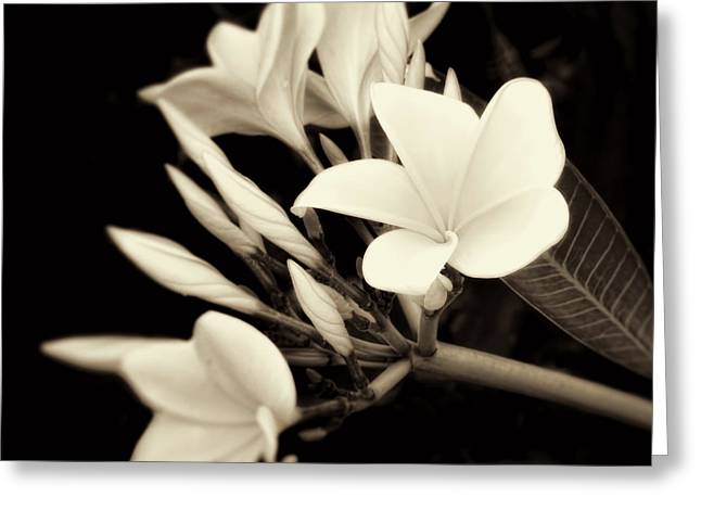 Plumeria Blossoms In Sepia  Greeting Card by Ann Powell