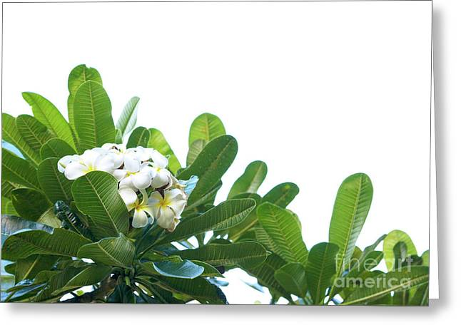 Greeting Card featuring the photograph Plumeria by Cindy Garber Iverson