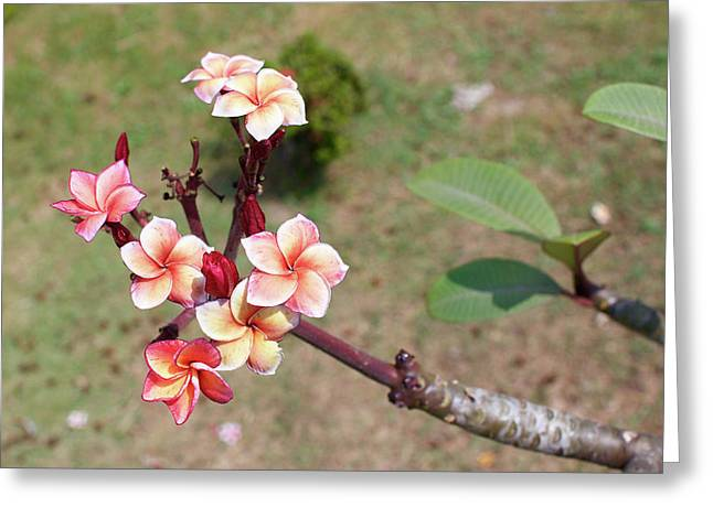 Greeting Card featuring the photograph Plumeria Flowers by Jingjits Photography