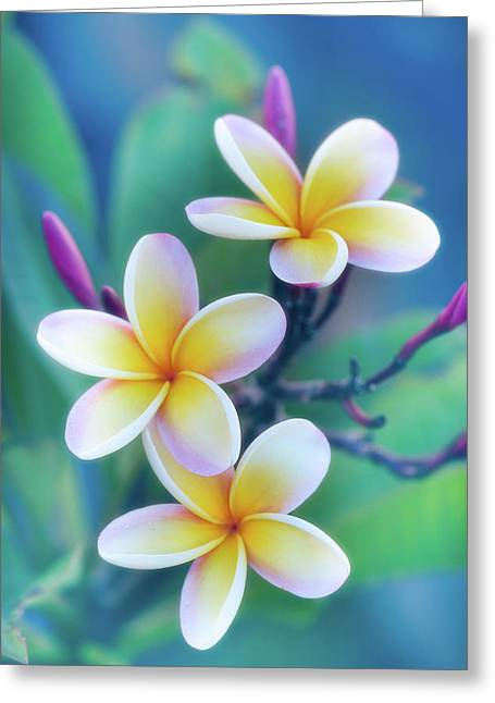 Plumerias In Pastel Greeting Card