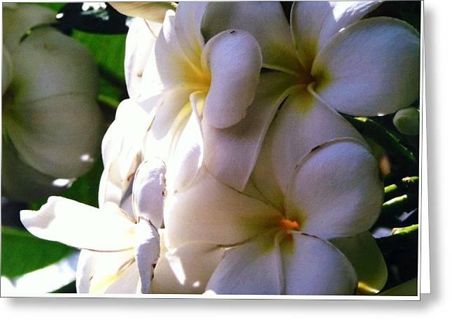 Plumeria In The Sun Greeting Card by Alohi Fujimoto