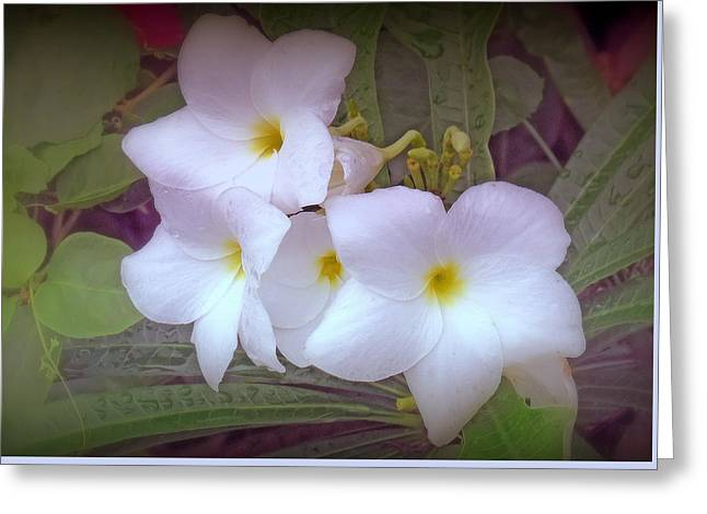 Plumeria Pudica Greeting Card by Kay Novy