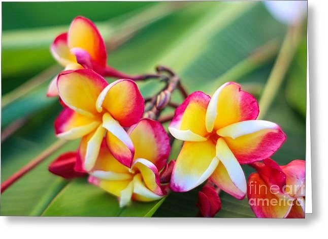 Plumeria Rainbow Greeting Card