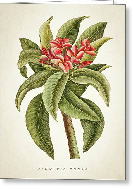 Plumeria Rubra Botanical Print Greeting Card