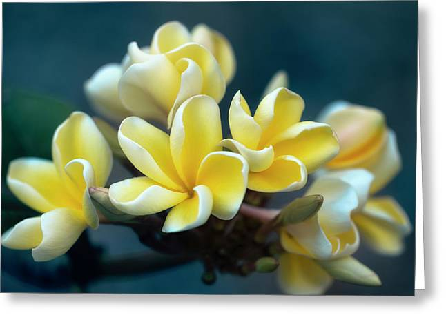 Plumerias Out Of The Blue Greeting Card