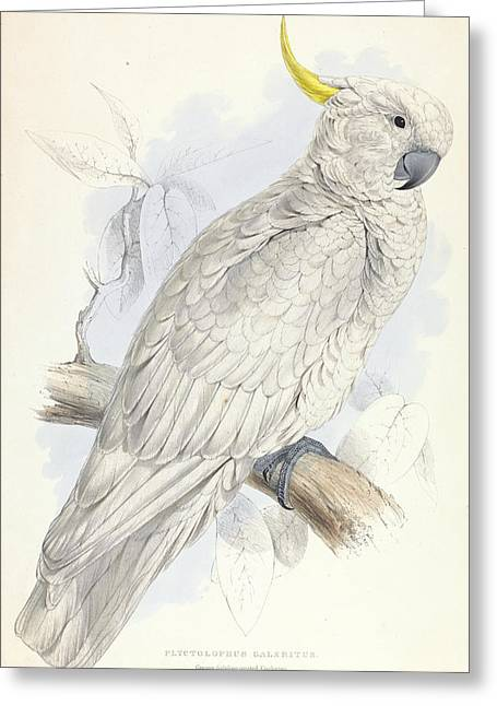 Plyctolophus Galeritus. Greater Sulphur-crested Cockatoo. Greeting Card