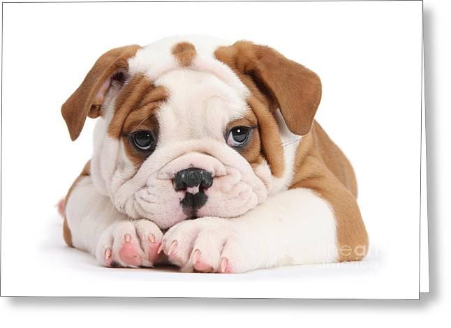 Po-faced Bulldog Greeting Card