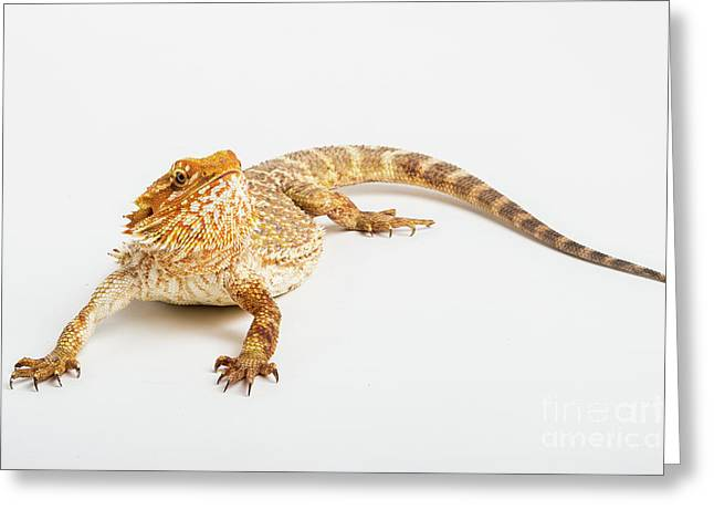 Pogona Isolated Greeting Card