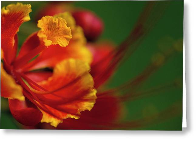 Poinciana Greeting Card by Eggers Photography