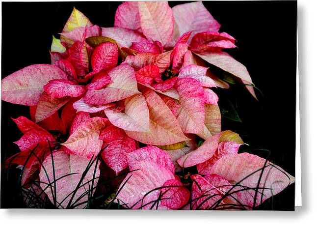 Poinsettia Greeting Card by Lyle  Huisken