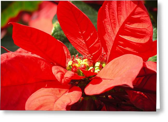 Poinsettia Greeting Card by Mary Lane