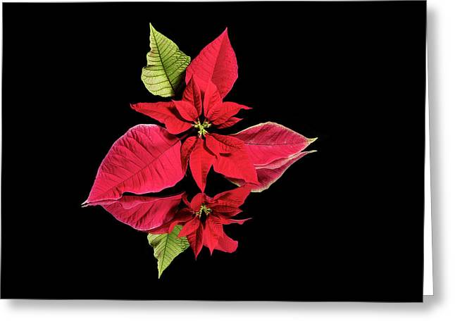 Poinsettia Reflection  Greeting Card