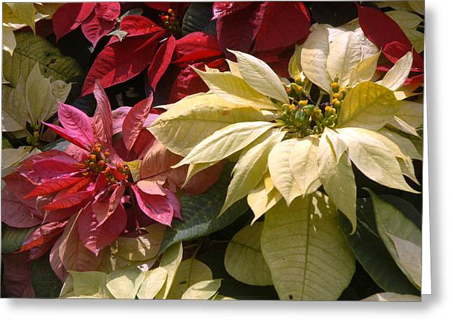 Poinsettias At Doi Tung Palace Greeting Card by Anne Keiser