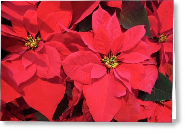 Poinsettias Greeting Card