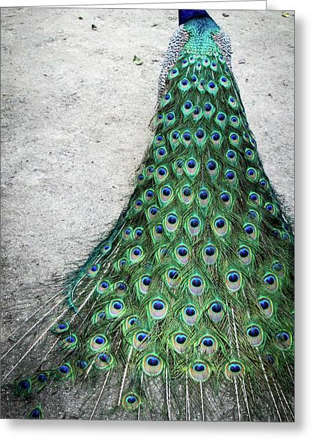 Poised Peacock Greeting Card