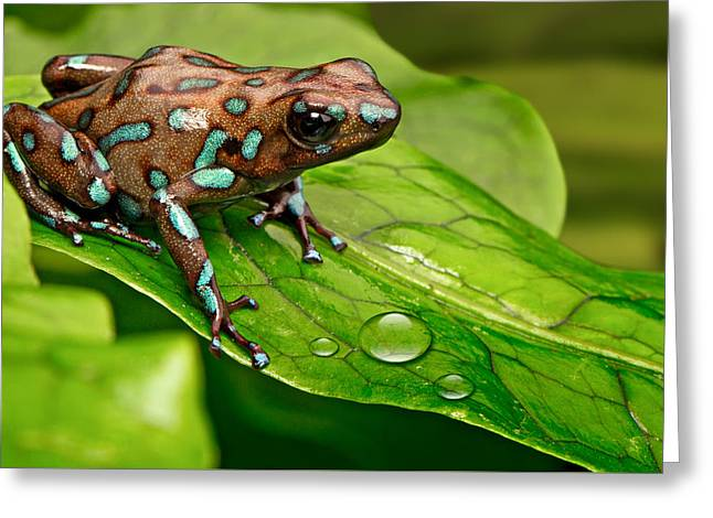 poison art frog Panama Greeting Card
