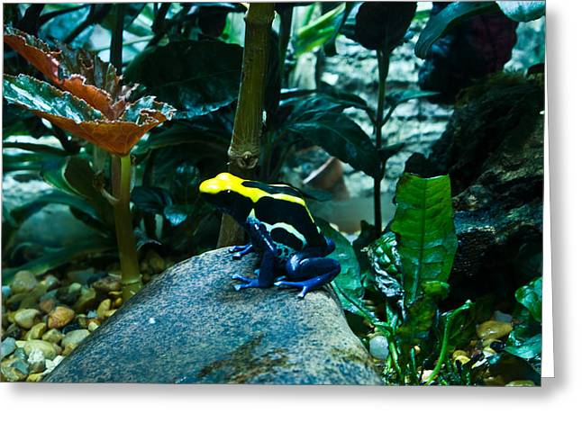 Poison Dart Frog Poised For Leap Greeting Card