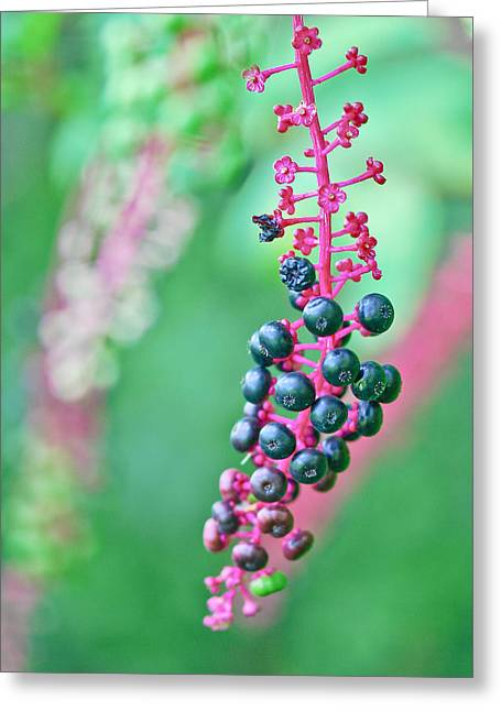 Poke Berries Greeting Card