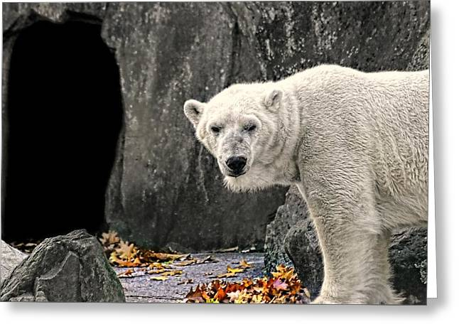 Polar Bear 101 Greeting Card by Diana Angstadt