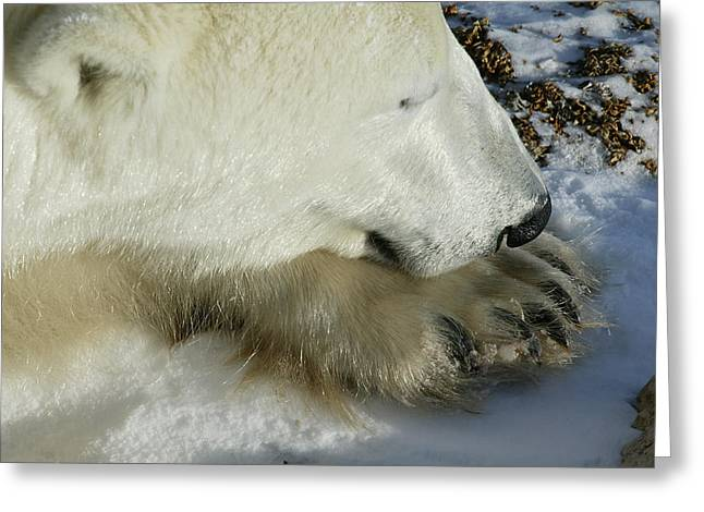 Polar Bear Close Up Greeting Card