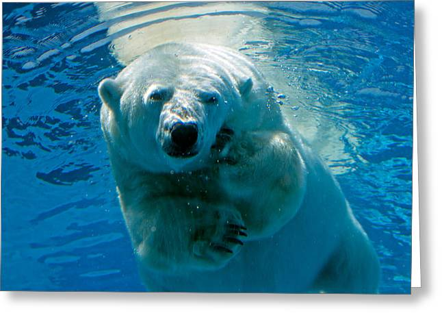Greeting Card featuring the photograph Polar Bear Contemplating Dinner by John Haldane