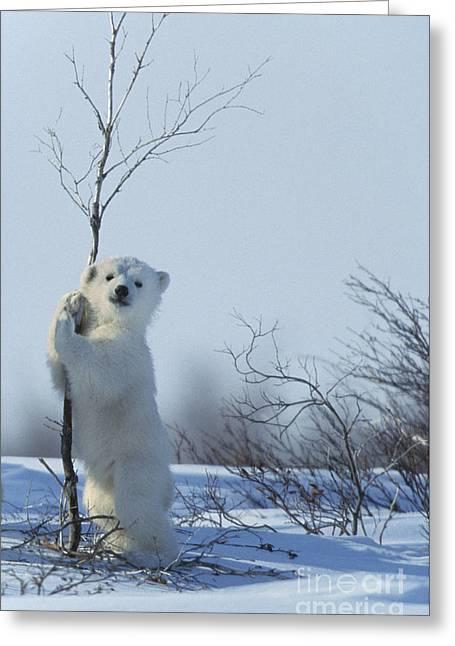 Polar Bear Cub Playing Greeting Card