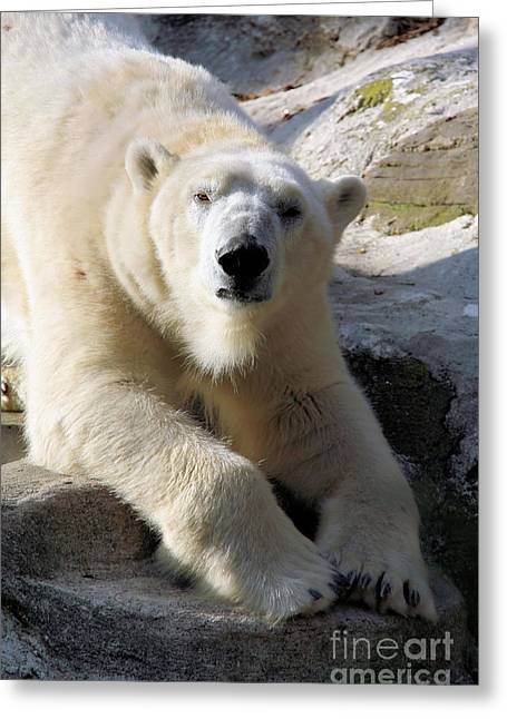 Polar Bear Greeting Card by Karol Livote
