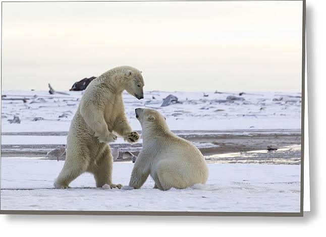 Polar Bear Play-fighting Greeting Card