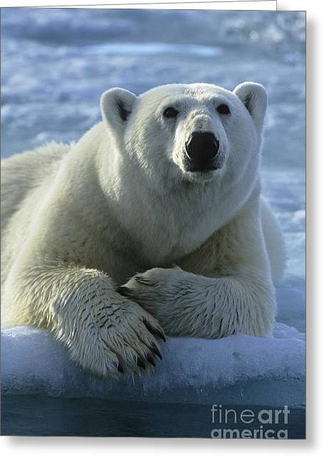 Polar Bear, Spitsbergen Greeting Card by Jean-Louis Klein & Marie-Luce Hubert