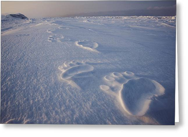 Animal Tracks Greeting Cards - Polar Bear Tracks On Sea Ice Greeting Card by Paul Nicklen
