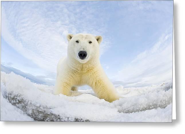Polar Bear  Ursus Maritimus , Curious Greeting Card by Steven Kazlowski