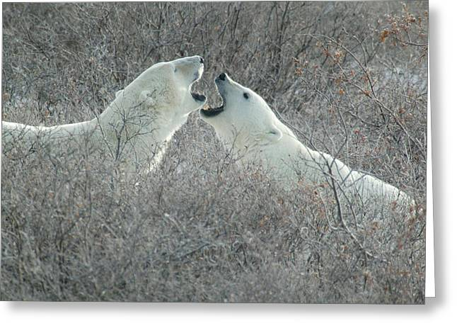 Polar Bears Jawing Greeting Card