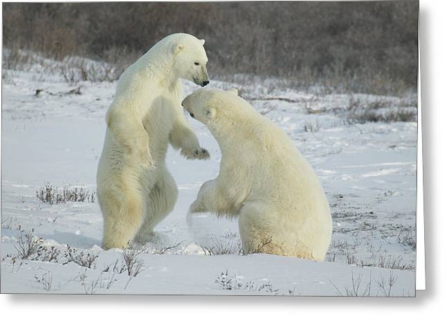 Polar Bears Jousting Greeting Card