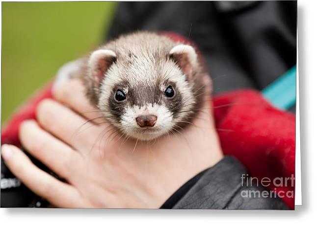 Polecat Ferret Hybrid Face Greeting Card