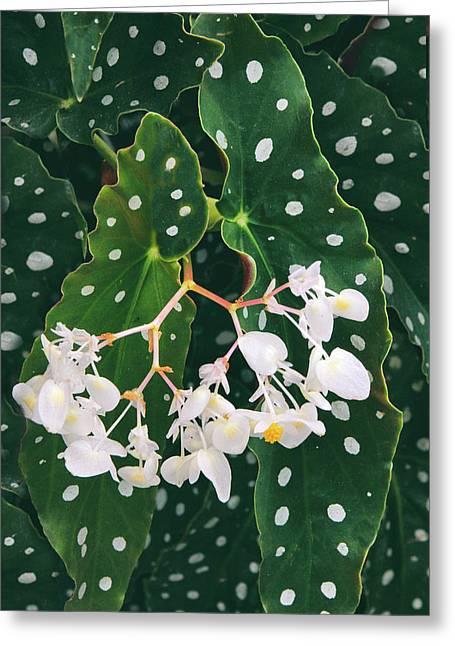 Polka Dot Begonia Greeting Card
